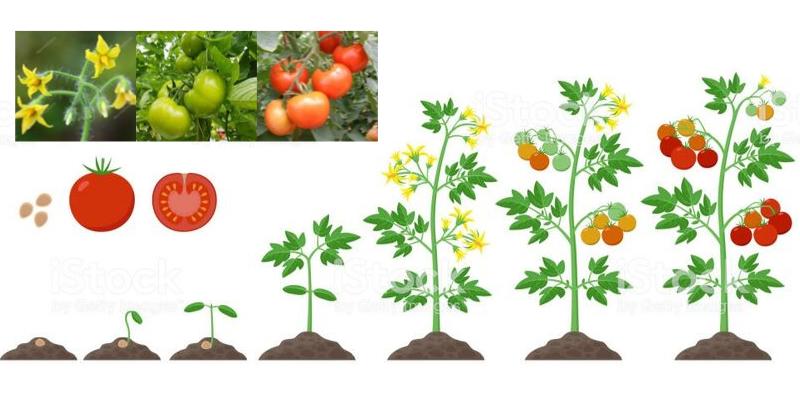 Plan de fertilización para Tomate