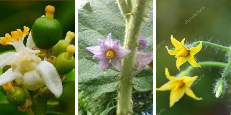 Fertilizante para FLORACIÓN y CUAJADO de fruto
