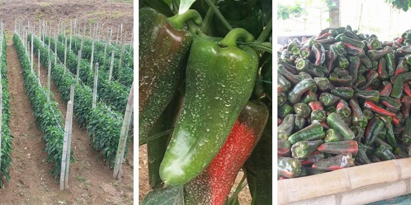 Fertilizante para CRECIMIENTO del Cultivo